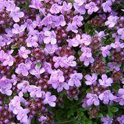 Fleurs de Thym serpolet