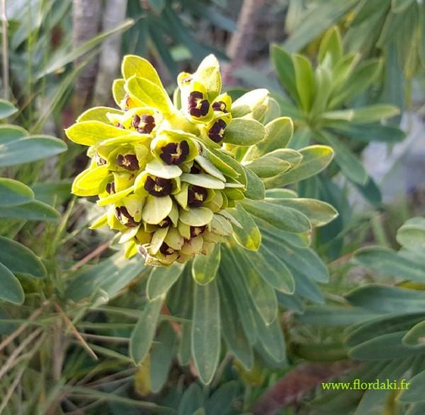 Inflorescence euphorbe