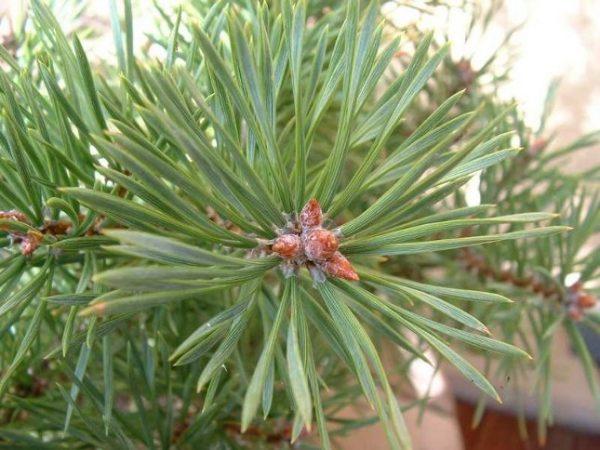 03-bourgeons-pin-sylvestre